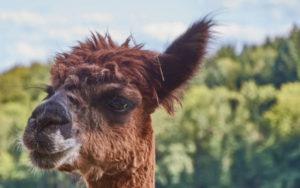 Darmstadt: Schweige-Spaziergang mit Lamas und Alpakas @ LebensSchuleNatur