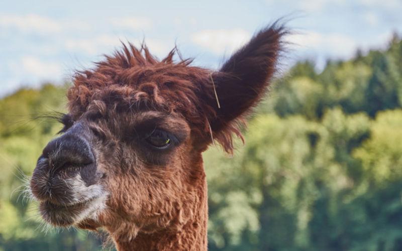Darmstadt: Schweige-Spaziergang mit Lamas und Alpakas
