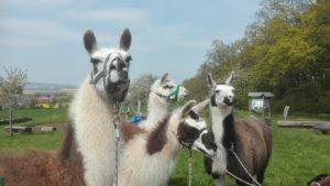 Wetterau: Wanderung mit Lamas @ Am Sportplatz