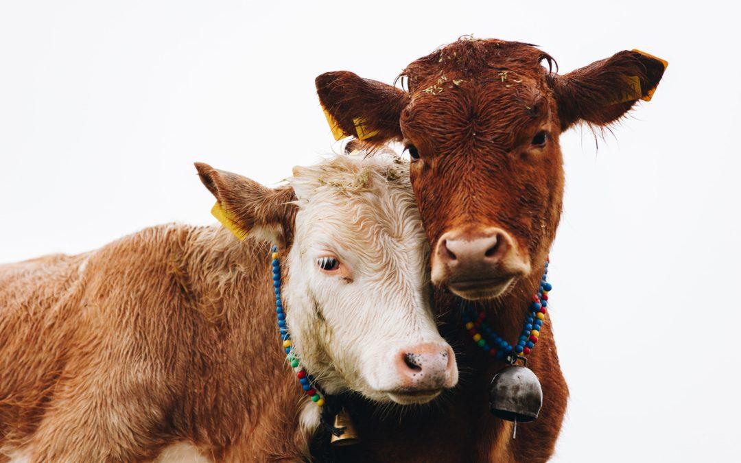 Tiergerecht schlachten und schächten – geht das?
